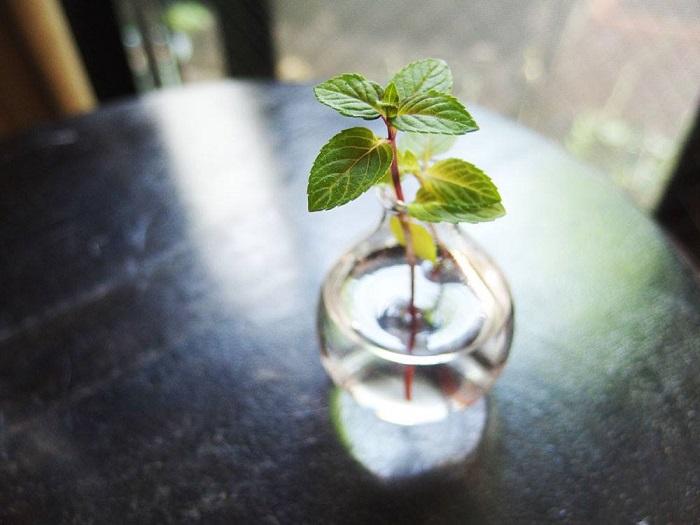 ミントも生命力が強いものはすぐに発根します。  水に挿したときに、水につかる部分は葉っぱを取った方が水が汚れにくいです。水挿し以外でも増やすことはできますが、水挿しでは簡単に増やすことができます。