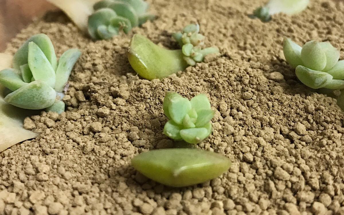 土の上に置いて環境がいいと、また新たに芽吹くのです。見ていて驚かされる多肉植物の生命力。葉が取れてしまったら、葉挿しをして多肉植物を楽しんでみませんか?