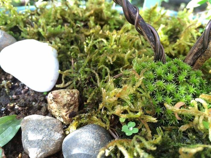 ハイゴケは、テラリウムや苔玉など様々な場所に使われています。  盆栽にも使用することがあるそうです。スナコケと一緒にするのもきれいですね。