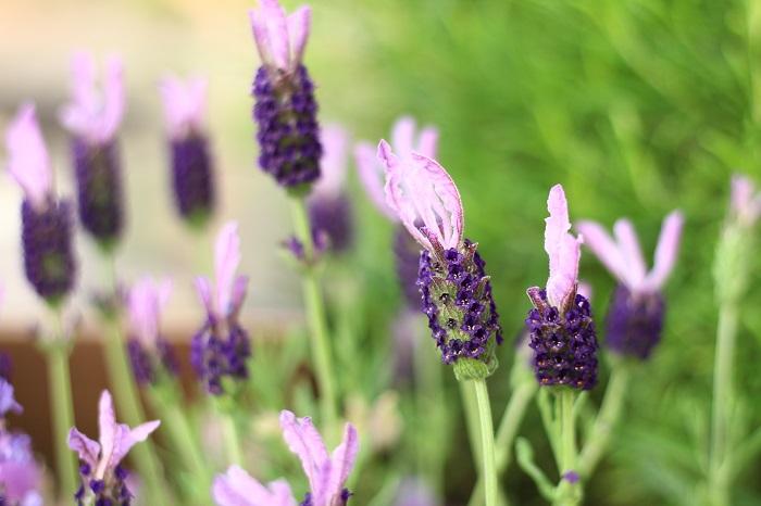 耐寒性あり 開花期5~7月  ウサギの耳を思わせる花穂が特徴的。香りはやや弱いのですが、ドライフラワーや鉢植え、花壇での観賞用に向いています。  耐暑性があり、乾燥に強く夏越ししやすいラベンダーですが、花後に切り戻して風通し良く育てましょう。暖地でも比較的栽培しやすいと言われます。