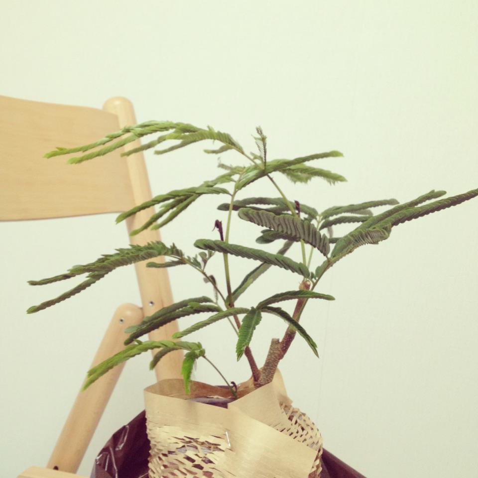夜に葉っぱを閉じ、昼間には葉を開いているはずの性質のエバーフレッシュが日中にもかかわらず葉を閉じてしまっている。これは、水が足りていない証拠です。水が足りていないため、少しでも蒸発を防ぐために、葉を閉じてしまっています。  水やりは、鉢の土が乾いたらしっかりと、そこから水が滴るまであげましょう。