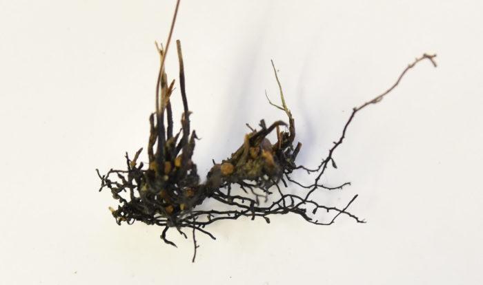 根腐れ(ねぐされ)とは、根っこが腐ってしまった状態のことです。だんだんと根っこが腐っていき株元まで腐っていき枯れてしまいます。