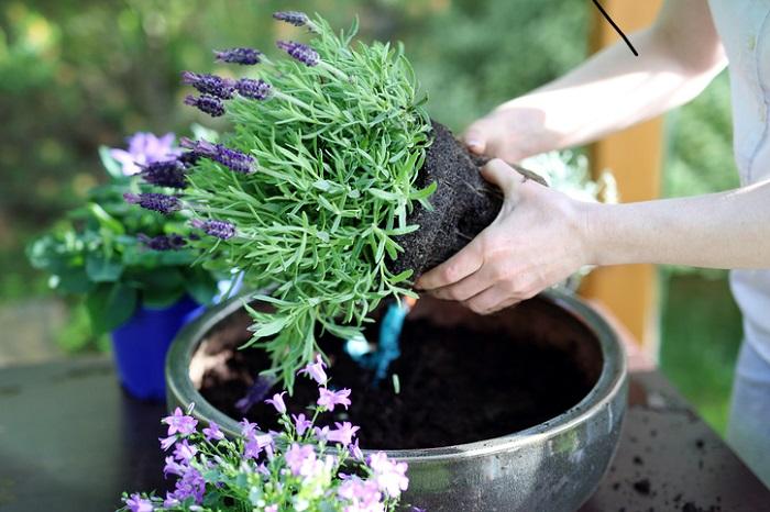 ポット苗は5~6月、排水性の良い土に植えます。水はけの悪い粘土質の用土はむいていません。