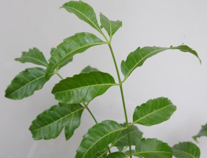 虫除け植物 ニーム