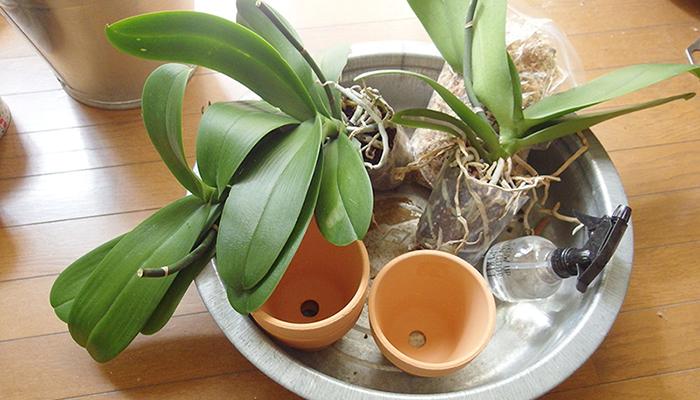 頂き物の胡蝶蘭です。この胡蝶蘭は大きな鉢にこのようなポリポットの状態でいくつか寄せてあったものをばらしたものです。  ひょんなことから我が家も頂くことになりました。その為、蘭を育てている方の植え替えレクチャーを聞いてきました。  そのレクチャーしていただいたことを元に植えつけをして育ててみることにしました。