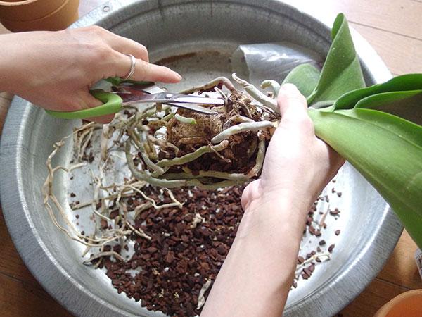 黒や茶色くなった痛んでいたり、死んでいる根はハサミでカットして取り除きます。