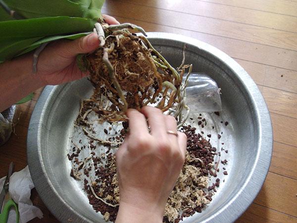 古い水ゴケやバークチップは取り除きます。根を優しくほぐしましょう。