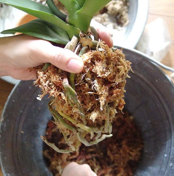 水ゴケを根の周りに巻き付けます。