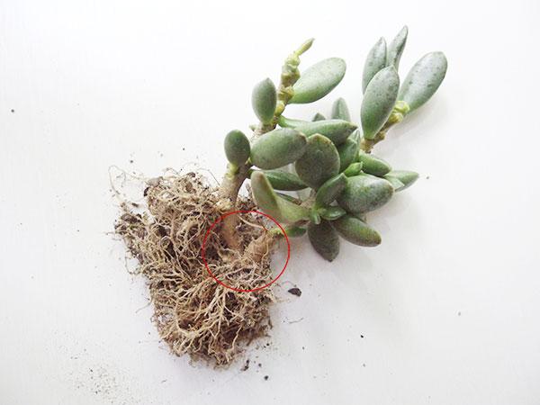 茎をカットする株分け  鉢から抜いて、土をとった状態です。地下茎がつながってます。