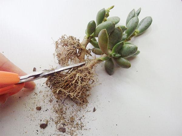 茎をハサミでカットします。カットする時は、株に根がついているようにして分けましょう。
