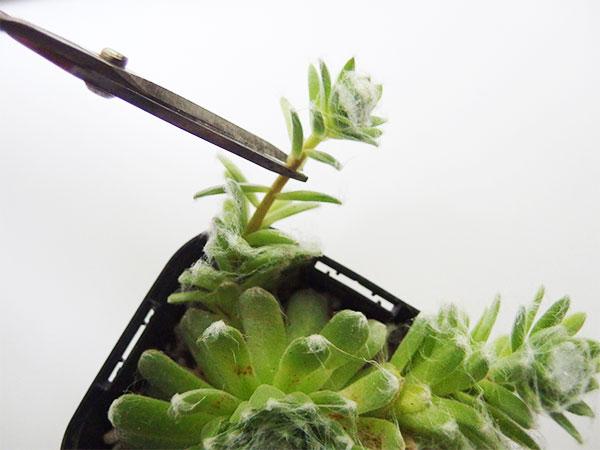 ハサミでカットします。清潔な新しい土に植えつけます。お水はすぐには与えないで、4,5日後くらいににたっぷりと与えましょう。