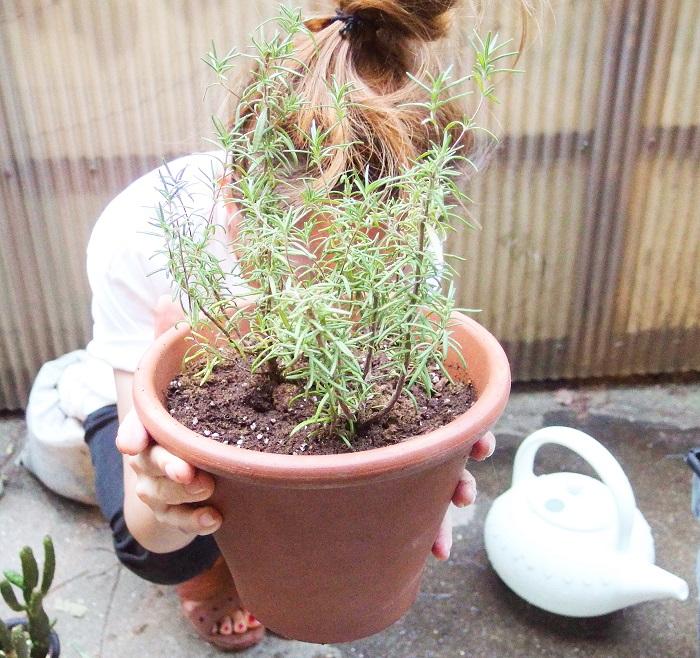 これでローズマリーの植え替えは完了。これで元気に育ってくれることを願います!