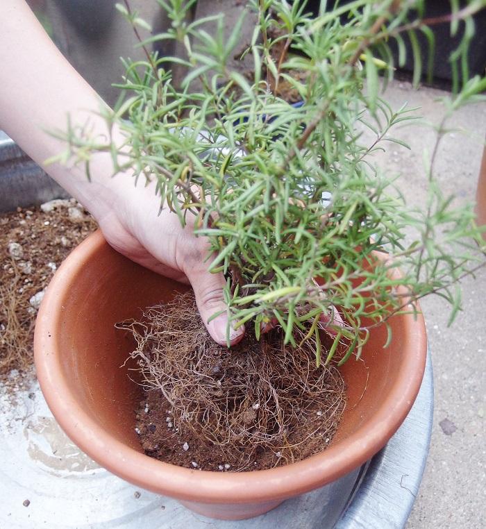 最初の鉢より一回り大きい鉢を用意します。鉢底ネット、鉢底石を入れてからそれぞれの植物に適した用土を入れます。その後、根を整えた植物を入れます。
