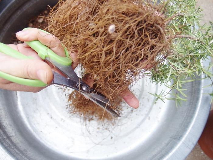 根っこは長ーくなっていますので、1/3くらいまでカットします。