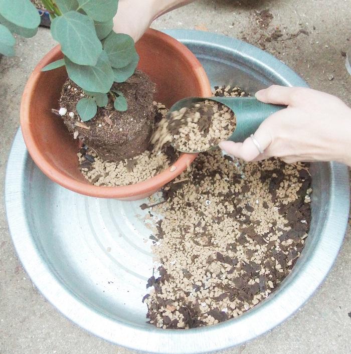 ①まず鉢底ネットを鉢にセットし、鉢底石を入れます。  ②ポットから苗を抜いて根鉢を崩さずに植えます。  根鉢(ねばち)とは根のまわりに土がついて、根と土が塊となった状態のこと。抜いたときに根が下のほうで根がぐるっと巻いてしまっている場合は根詰まり気味です。根詰まりを起こしている場合は根を傷つけないように軽くほぐしてから植えつけましょう。  ③苗を鉢に入れて隙間を土で埋めます。  最後にお水をたっぷりと与え、植え替えが完了!ユーカリ・ポポラスはふらふらしやすので、支柱を立てて安定させましょう。 (苗で販売されれている時から支柱がついているものもあります)
