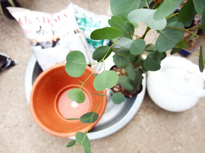 植え替え・植え付けは4月~8月が良い時期 ユーカリ・ポポラスは生育旺盛。根も伸びるので鉢植えの場合は根詰まりしやすいです。鉢底をこまめにチェックして、根が見えているようでしたら一回りから、二回り大きい鉢に植え替えるとよいでしょう。今回はポリポットで売っていた状態から鉢に植えつけます。鉢が一回り大きいものを用意しました。(5号鉢を用意)  【用意するもの】  ・鉢(苗より一回りから、二回りくらい大きいもの) ・鉢底石 ・鉢底ネット ・スコップ ・土