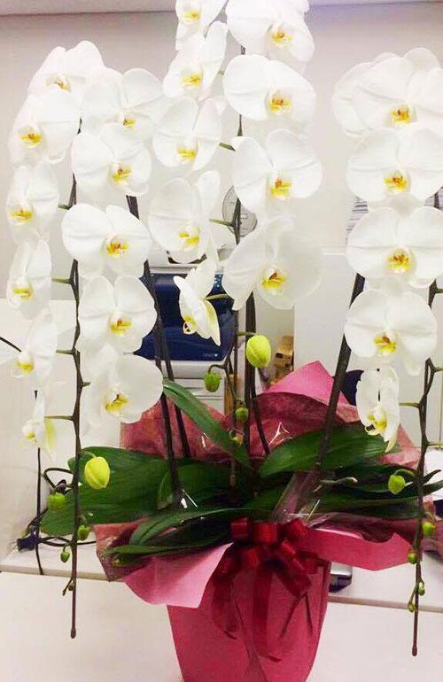 胡蝶蘭(コチョウラン)の花言葉は「幸福が飛んでくる」です。  縁起のよい言葉も贈り物としてふさわしいこともあり、選ばれているのではないでしょうか。さらに、胡蝶蘭は花持ちがよいです。  お花は1カ月から、種類によっては3カ月近くは持ちます。長く花を楽しめるのも理由のひとつとも言われてます。