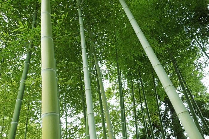 笹の葉を擦れ合う音は、神様を招くとされてきたと言われています。七夕の願い事も神聖な笹(竹)に下げようということから、笹に吊るすようになったようです。