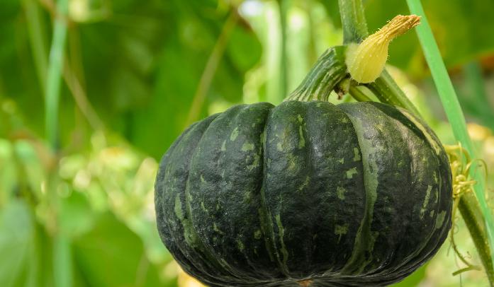 カボチャの育て方|植物図鑑 | LOVEGREEN(ラブグリーン)