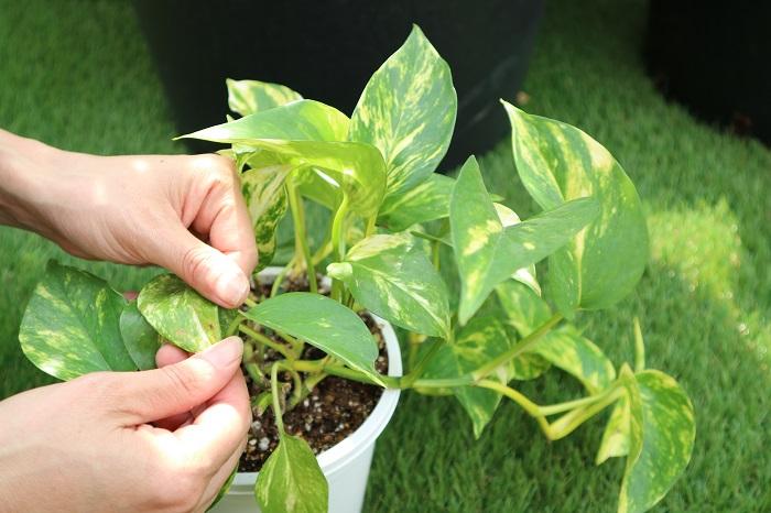 上手に育てるポイントは、毎日観察すること。お水が足りていない時は、葉っぱの触り心地が違います。また、、病気になりかけてるときは葉が変色したり、何かしらサインを出します。枯らしてしまうのが不安な方、枯れらしてしまう前にみておきましょう。葉水(葉っぱにお水をかける)をしたり、土が乾いていないかチェック!観葉植物の性質に合った日当たり・置き場所で管理しましょう。毎日、観察することで変化に気づくと思います。