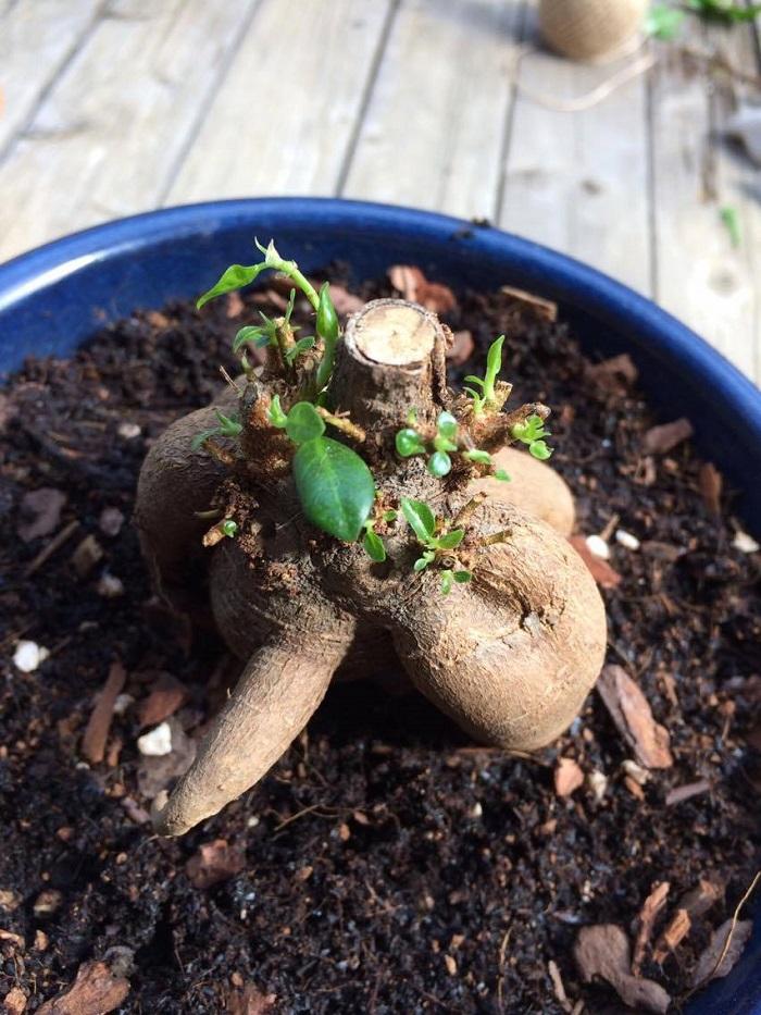 6月5日 葉とわかるぐらいにグングン育ってきています。このころ、少し液肥をあげてみました。  お水はほとんど気にかけないぐらい与えていません。風通りの良い場所と思って外に置いておきました。