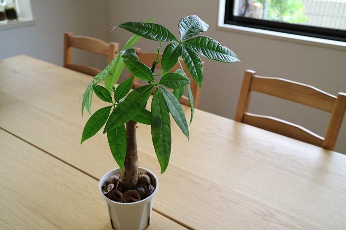 手を広げたような5枚の葉が特徴的なパキラは、比較的乾燥に強く、丈夫で害虫もつきにくいため、初心者におすすめの観葉植物です。インテリアとの相性も抜群で、樹形の大きさをコントロールしやすく、根もあまり張らないため、大きくさせずに長い期間に渡って育てていくことができます。ハイドロカルチャーを使って、ミニサイズで育てることもできます。
