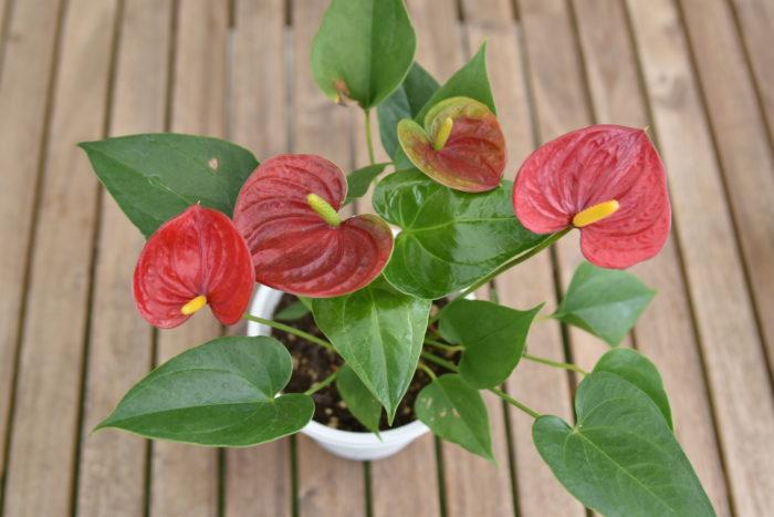 アンスリウム(アンスリューム)と言えば赤や白の仏炎苞(ぶつえんほう)が綺麗な人気の観葉植物ですよね。  モンステラやポトスと同じサトイモ科に分類され、約600種類もあると言われています。  花を観賞するタイプや葉を観賞するタイプなど、一口にアンスリウムと言っても様々です。お気に入りのアンスリウムを見つけてみませんか?