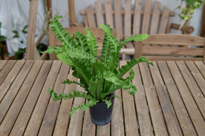 アスプレニウムは常緑多年性の着生シダの仲間です。  明るい日陰を好みます。耐陰性がありますので、暗めのお部屋でも育てられます。観葉植物はいい運気を出すといわれていますので、運気の入り口である玄関に置いてみるのもいいかもしれません。  水やりは鉢土の表面が乾いたらたっぷりと与えます。春~秋にかけては毎日、冬は2,3日に1回行いましょう。冬に水をやり過ぎると、根腐れを起す可能性があります。空中湿度を好みますので、水やりの際には、葉水も行いましょう。  日本にも沖縄を始めとした温暖な地域にオオタニワタリという大型のアスプレニウムが自生しています。  また、葉が波打っていて美しい姿をしているアスプレニウム・エメラルドウェーブという品種は園芸店などでも売られており、メジャーなアスプレニウムの品種です。