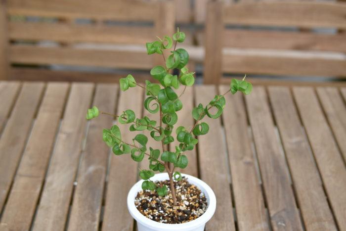 フィカス・ベンジャミン・バロックとはフィカス・ベンジャミンの園芸品種です。クワ科フィカス属に分類される東南アジア原産の植物になります。  葉が下向きにクルンと丸まるちょっと変わった姿をしている人気の観葉植物です。管理の方もそれほど難しくはありません。