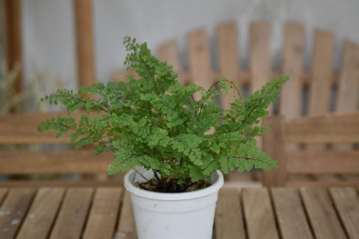 アジアンタムはイノモトソウ(ワラビ)科の観葉植物。  小さな葉がとても爽やかですよね。直射日光が苦手なため、避けて管理しましょう。室内の明るめの場所なら育つので半日陰が向いています。  シダの仲間なので多湿を好み、乾燥は苦手です。霧吹きなどで頻繁にお水を上げてください。葉水をたくさん与えましょう。  夏場は気温が高く、土が乾きやすいので朝晩あげてもいいと思います。一度、水不足が起きると葉が縮んでしまい回復が難しいです。こまめな水やりが重要です。