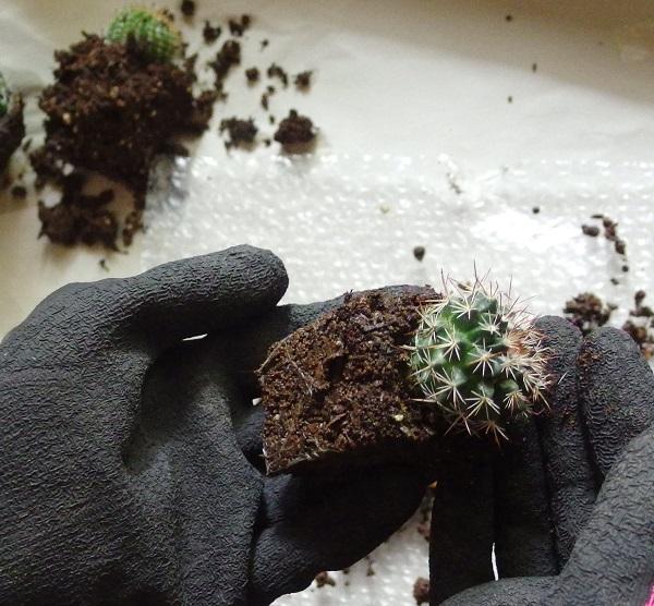 土が湿った状態での作業は避けたほうがよいので、その場合は土が乾くまで数日間置いてから寄せ植えしましょう。  ポットに入っている状態より、抜いておくほうが乾きやすいです。  これは寄せ植えだけの時だけではなく、サボテンの植え替えの時も同じです。