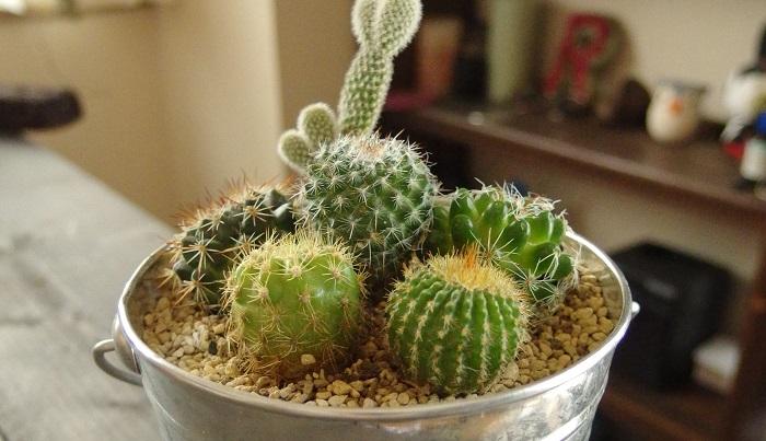 小さくて可愛い。「ミニサボテン」で寄せ植え作ろう。