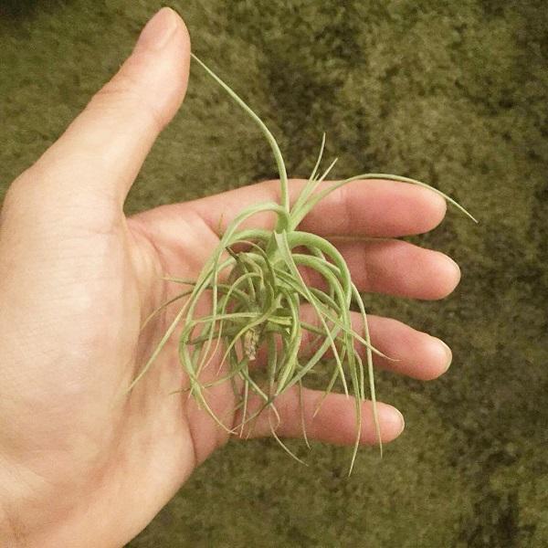 エアプランツの中でも耐寒性があり、特に育てやすい種類です。大きく育てば、屋外管理にも耐えられるくらい強いです。アエラントスは寒さに当てないと花が咲きにくいという性質を持っており、冬場は出来るだけ寒さに当てるようにするのがちょっとしたコツになります。  しかしながら現在アエラントスで流通しているものの殆どがベルゲリとの交雑種となっており純血のアエラントスは滅多に流通していません。
