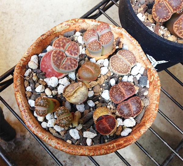 まるで宝石箱のような寄せ植えですね!  多肉植物には、夏の時期に成長する「夏型種」と、冬の時期に成長する「冬型種」があります。  リトープスは冬型の多肉植物です。休眠・脱皮・分頭を繰りかえす植物で、暑い季節は休眠します。  そのため、他の多肉植物との寄せ植えは避けたほうがよいでしょう。