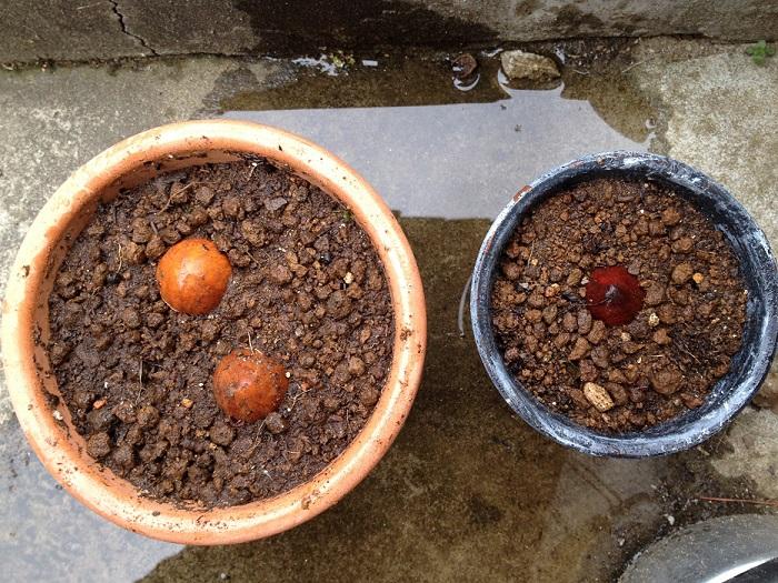うちでアボカドの種を植えてみたのは春とはいえまだ寒い頃でした。水栽培のやり方もありますが、家では種を洗って、子供達に植えてもらいました。アボカドの種を3つ。あまり鉢二つに植えました。