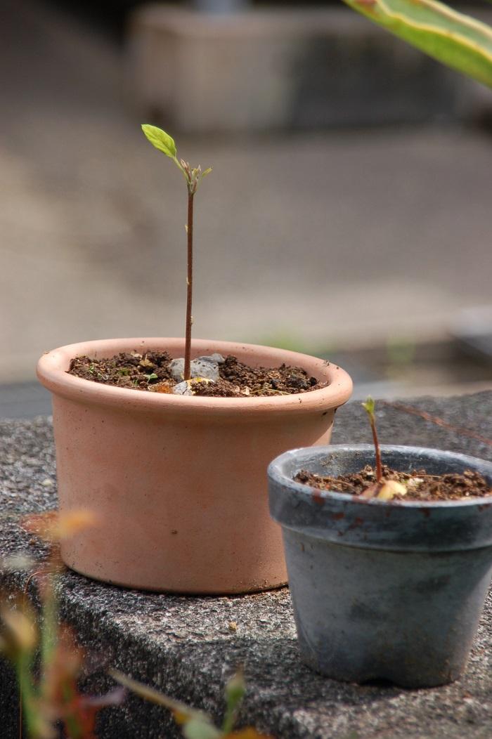 春も終わり、いよいよ不発に終わったのだと、アボカドの存在すら忘れていた頃。一斉にアボカドの種が発芽したのです! 3つ中、3つ発芽という突然の快挙♪(2つ発芽している画像ですが、その後すぐ3つ目も発芽しましたよ)4ヶ月ウンともスンとも言わなかった別々のアボカドの種が、正確に温度を計っていたかのように同じタイミングで発芽するのは神秘的。