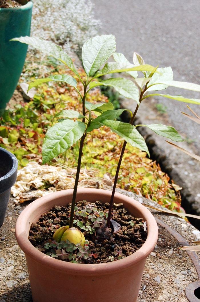 今考えれば3月に植えたのはさすがに早かったようです...。さて、このアボカド3兄弟。2つは自宅の庭にて。