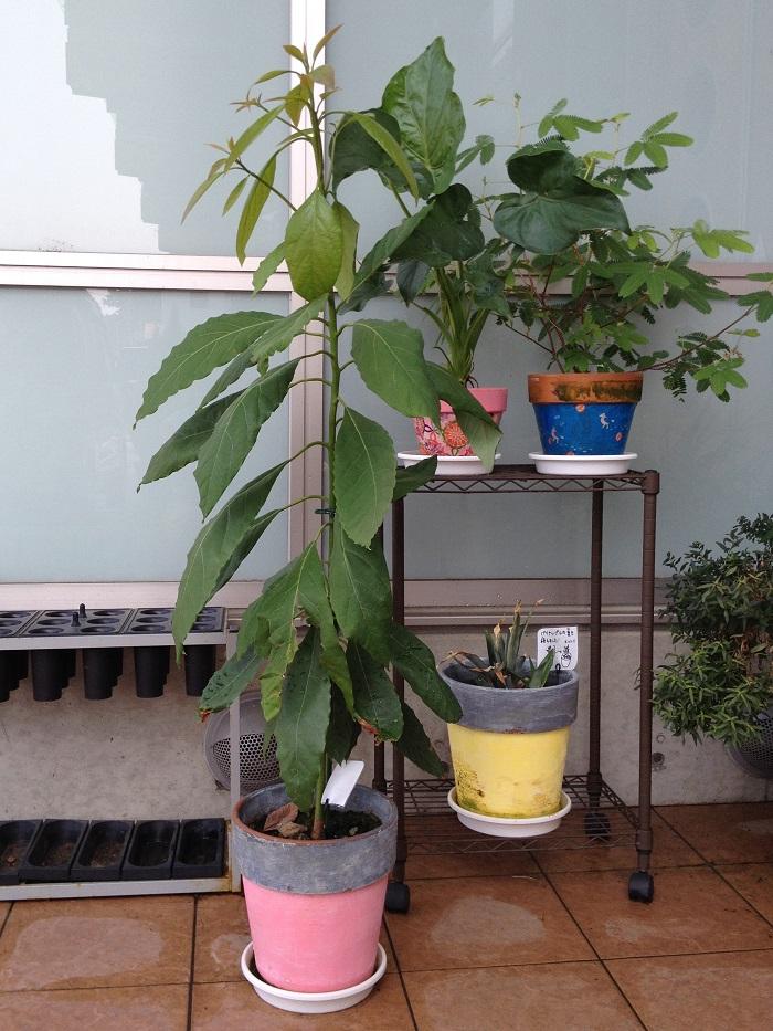 この2ヶ月で生長著しいのがわかりますよね。アボカドは新芽がどんどん展開してきます。茎が細いので支柱を立てました。