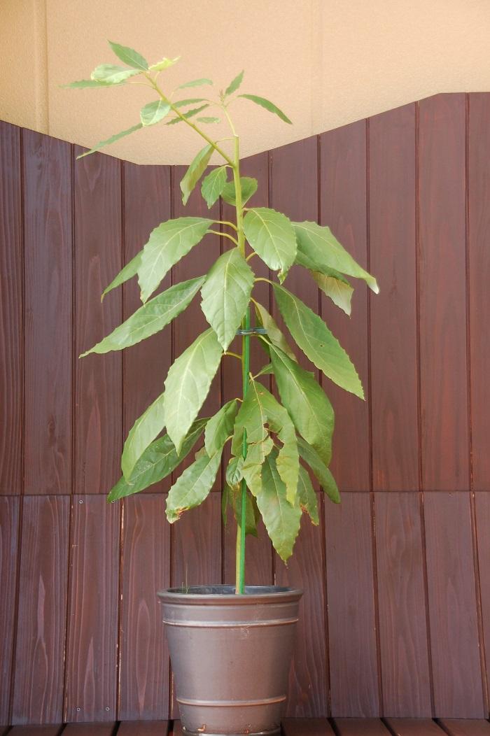 台風で鉢が倒れて割れたトラブルがあり、鉢増し。高く伸びすぎたアボカドは、バランスも悪く思えたので剪定(摘芯)もしてみました。発芽後1年にして既に観葉植物らしい趣が出ていていて、恐ろしいくらいの生長力です。