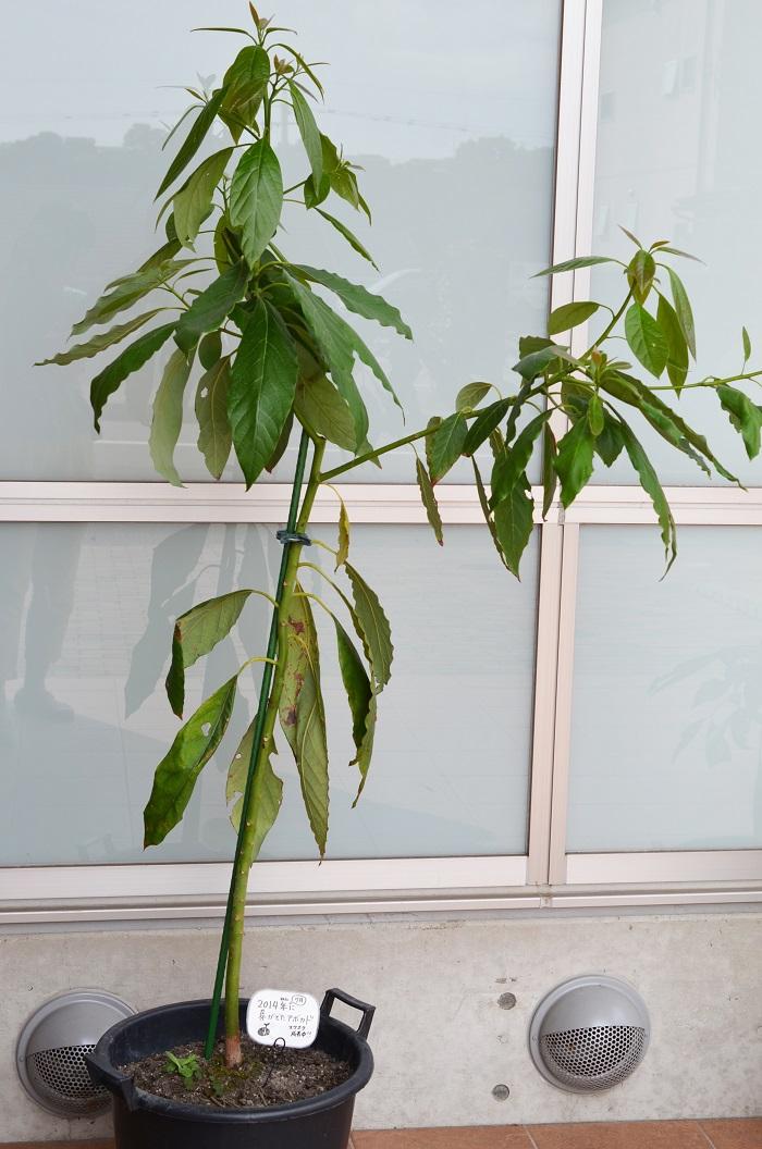 去年剪定した部分から枝分かれして、さらに伸びる気満々のようです。樹形のバランスは悪いですが...茎も若干太くなってきました。
