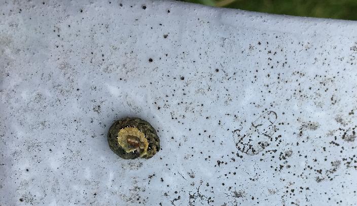 夜盗虫の名の通り、夜に活動を開始して花や葉を食害します。  昼は葉の裏や地際の近くの土の中に潜んでいます。