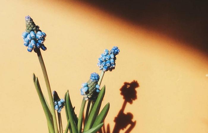 ふんわりとした、いい香りを漂わせる球根植物ムスカリ ムスカリは、キジカクシ科ムスカリ属の球根植物。コンパクトなサイズで大きくなっても草丈15cmほど。原産は、地中海沿岸・アジア南西部でとても耐寒性の強い草花です。地植えの場合、こぼれ種や自然分球で増え、毎年自然に花が咲くムスカリ。お庭やガーデンでも冬から春にかけて楽しめる球根植物のひとつ。 ヒヤシンスのように水耕栽培で楽しむことができます。