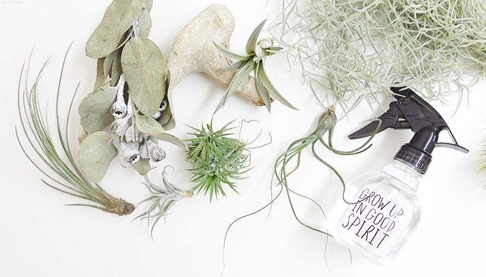 ティランジア(エアプランツ)はブロメリア科の植物。南米や中米など幅広い範囲に分布し、木やサボテン、岩などに着生をして自生しています。その環境は乾燥地から湿地まで様々。雨や霧で株を濡らし、水分を吸収し成長します。交配種や、変種も含め種類も豊富で、花も咲き、子株を出して増えていきます。エアプランツには葉がシルバーグリーンの「銀葉種(ぎんようしゅ)」と緑色の「緑葉種(りょくようしゅ)」の2つのタイプがあります。