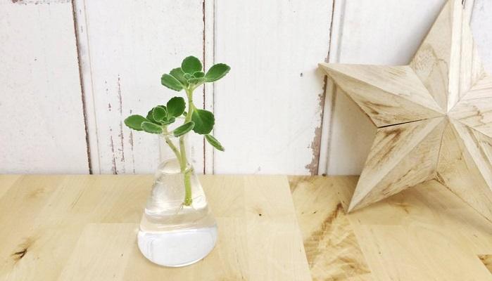人気の多肉質なハーブ「アロマティカス」。葉からは甘くて爽やかなとても良い香りがします。水挿しでとても増やしやすい植物です。