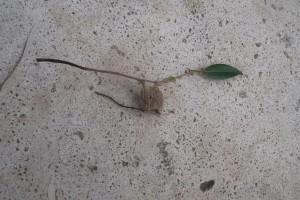 先日庭で見つけました。なんだかふさふさした実だな?こんな実がなるっけな…と思ったらチャドクガの幼虫がびっしりついていたのでした。