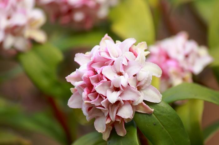 香り高い花を咲かせる春の代表的な樹木ジンチョウゲ(沈丁花)。  ジンチョウゲ(沈丁花)はジンチョウゲ科の常緑低木で、春先に外側が桃色で内側が白色の小さな花が塊になって枝先に咲きます。沈丁花の花は画像のような赤みがかったものと真っ白なものがあります。4枚の花弁のように見えるものは萼(ガク)が変化したもので、花弁はありません。花弁に見える部分はよく見るとキラキラと細かく光り、シアー感があります。肉厚で、独特の触り心地です。  樹高は1m~1.5mほどで、枝が良く分岐するので特に剪定をしなくても丸くこんもりとした樹形を保ちます。この木の特徴はやはり香り高い花ではないでしょうか。  「沈丁花」という名前は、花の香りが沈香に似ていることと、十字型の花が丁子(クローブ)に似ていることに由来しています。原産は中国と言われており、室町時代にはすでに栽培されていたという記述があります。  ジンチョウゲ(沈丁花)は雌雄異株で、雄株と雌株があります。日本で流通しているものの多くは雄株ですので実を見る機会はめったにありませんが、赤い可愛らしい実を付けます。ただし、実は猛毒ですので口に入れないように注意しましょう。  ジンチョウゲ(沈丁花)の実生は厳しいですが、梅雨時や春頃に挿し木を行うことで増やすことが出来ます。移植にやや弱いので地植えするときは場所をよく考えてから植えるようにするのがおすすめです。