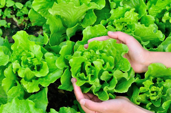 hands pikcing lettuce plant  in garden