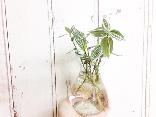 トラディスカンティアはムラサキツユクサ属のことで、きれいな葉が特徴です。葉の表面がラメを塗ったようにキラキラとしている品種もあり、非常に綺麗です。  また、強健で育てやすいため、初心者の方にもおすすめです。耐陰性がありますが、なるべく日に当てることで引き締まった株になります。