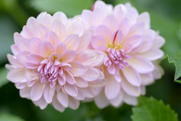 ダリアの花言葉 種類、特徴、色別の花言葉   LOVEGREEN(ラブグリーン)