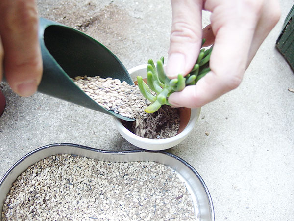 ④多肉植物を鉢に入れて、土を流し入れます。